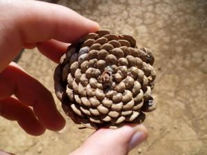 Pine Spiral